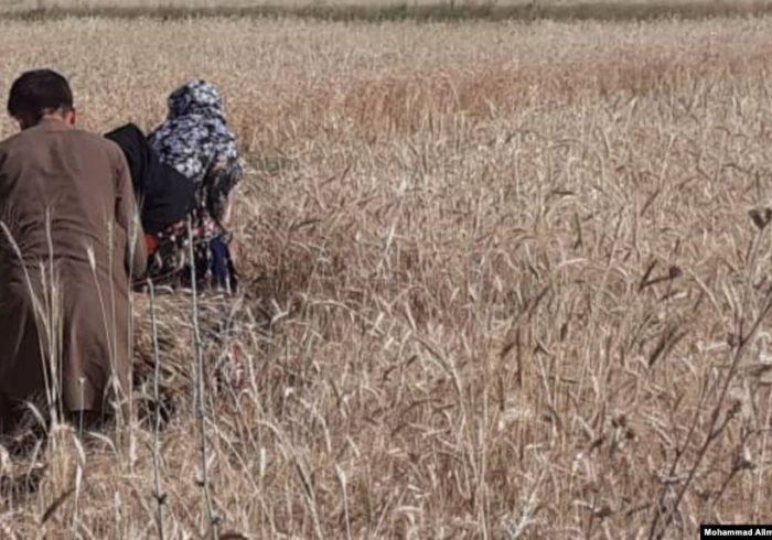 دهقانان کندز از کاهش حاصلات گندم ابراز نگرانی میکنند