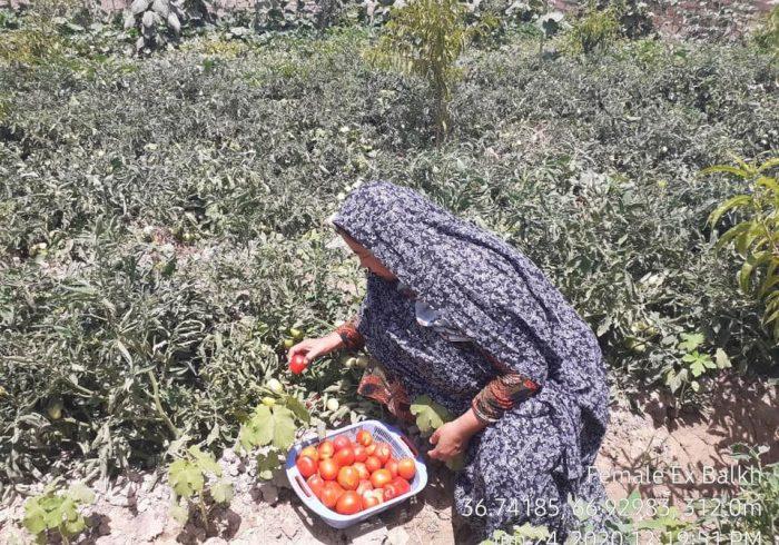 بیش از سههزار زن در بلخ مصروف زراعت هستند