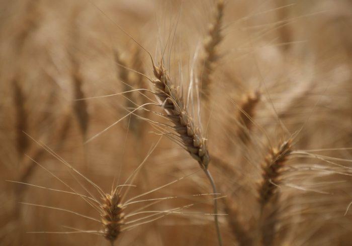 حاصلات گندم افغانستان امسال به ۵.۱ میلیون تن رسیدهاست