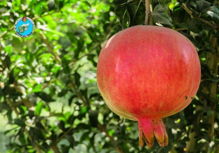 پیشبینی وزارت زراعت: حاصل درختان انار فراه امسال به ۱۵۰ هزار تُن خواهد رسید