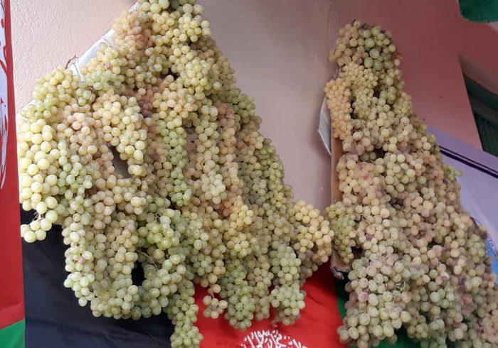 حاصل انگور فاریاب حدود ۱۰ درصد افزایش یافته است