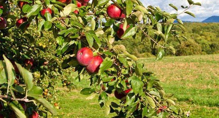 حاصلات سیب در بامیان، افزایش یافته است