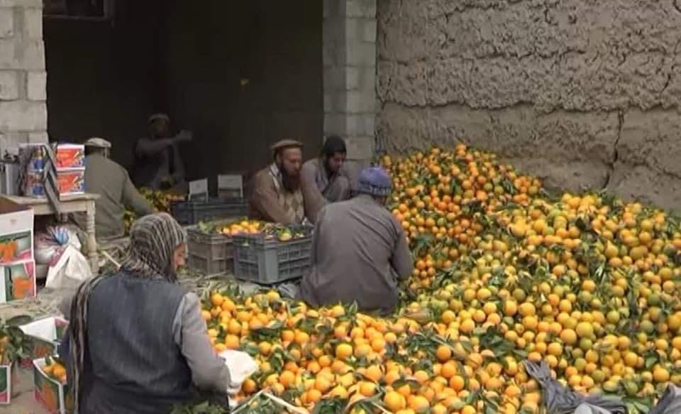 افزایش پنج برابری حاصلات نارنج در ننگرهار