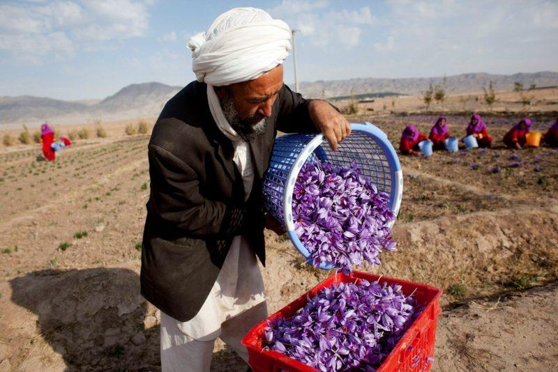 نگرانیها از قاچاق زعفران؛ وزارت زراعت: زعفران افغانستان به ۳۱ کشور جهان صادر میشود